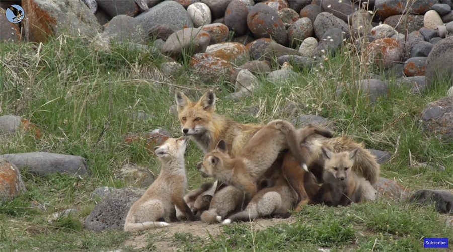 red-fox-mother-babies